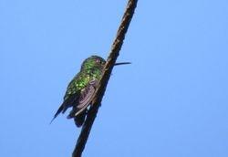 Versicolored Emerald, Amazilia versicolor