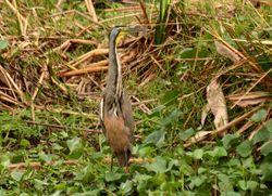 Bare-throated Tiger-Heron, Tigrisoma mexicanum