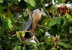 Boat-billed Heron, Cochlearius cochlearius