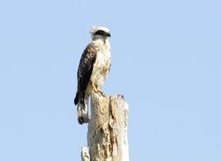 Sulawesi Serpent-Eagle, Spilornis rufipectus