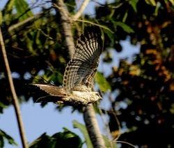 immature Sulawesi Serpent-Eagle