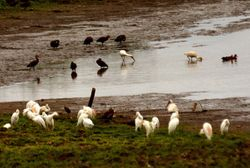 White Ibis with Black-bellied Whistling-Duck, Cattle Egret