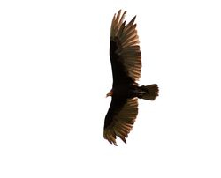 Lesser Yellow-headed Vulture, Cathartes burrovianus