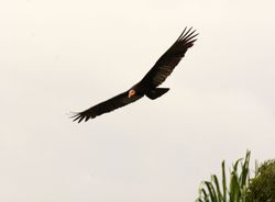 Greater Yellow-headed Vulture, Cathartes melambrotus