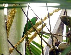 Sula Hanging-Parrot, Loriculus sclateri