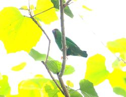 Sula Hanging-Parrot,