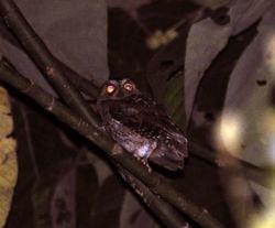 Banggai Scops-Owl, Otus mendeni