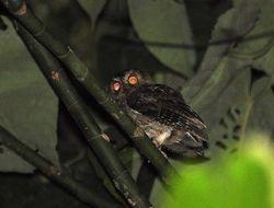 Banggai Scops-Owl