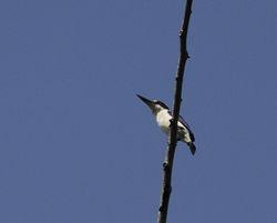 Collared Kingfisher, Todiramphus chloris