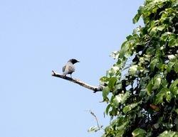 male Common Cicadabird, dolisoma tenuirostre