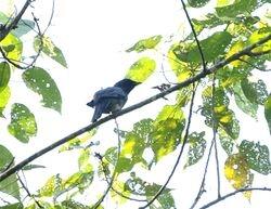 male Common Cicadabird