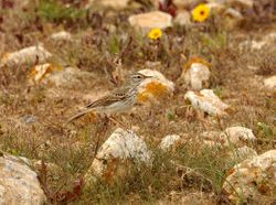 Berthelot's Pipit, Anthus berthelotii berthelotii
