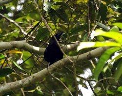 Banggai Crow, Corvus unicolor