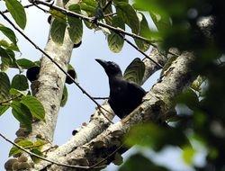 Banggai Crow