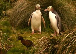 Aukland Island Teal with Yellow-eyed Penguins