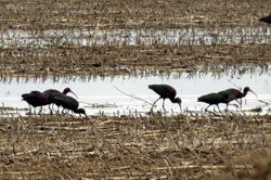 Bare-faced Ibis,  Phimosus infuscatus