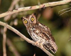 Black-capped Screech-Owl  Barry Wright