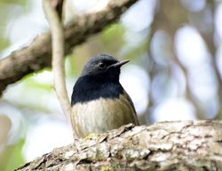 Blackthroat at Liangfengya