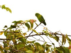 Blue-winged Parrotlet, Forpus xanthopterygius