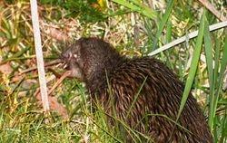 Northern Island Brown Kiwi