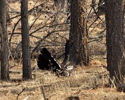 Black-billed Capercaillie lekking