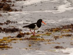 Chatham Islands Oystercatcher