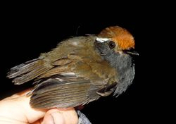 Chestnut-crowned Gnateater