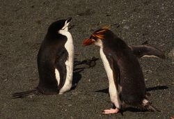 Chinstrap Penguin with Royal Penguin