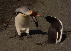 Chinstrap Penguin with King Penguin