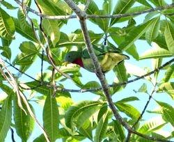 Claret-breasted Fruit Dove, Ptilinopus viridis