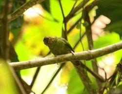 Buff-faced Pygmy-Parrot, Micropsitta pusio