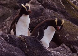 Erect-crested Penguins on the Bounty Islands