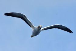 Australian Gannet at Whangaroa