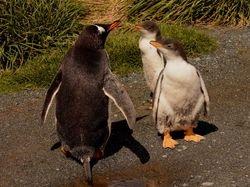 Gentoo Penguin on Macquarie Island