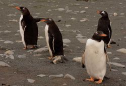 Gentoo Penguins on Macquarie Island