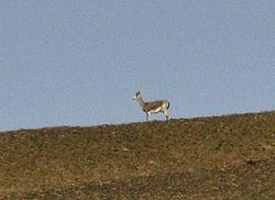 a rare Goitred Gazelle