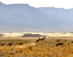 shy Mongolian Gazelles
