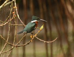 Green-and-rufous Kingfisher, Chloroceryle inda