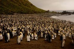 King Penguin colony on Macquarie Island