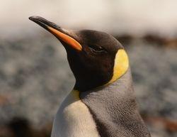 King Penguin on Macquarie Island