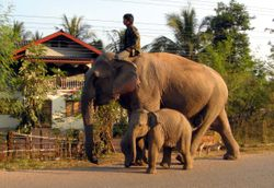 elephant with youngster