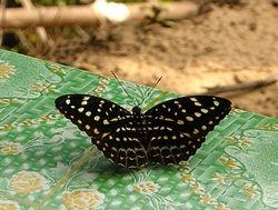 Lexias pardalis (Archduke?) (Nymphalidae)