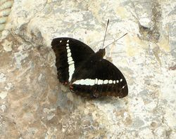 Bassarona recta (Nymphalidae)244