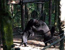 captive bears boxing