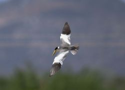 Large-billed Tern,  Barry Wright