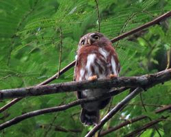 Least/ East Brasilian Pygmy-Owl