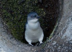 Little Penguin on the Chatham Islands