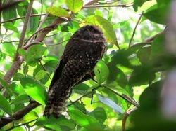 Mountain Owlet-Nightjar, Aegotheles albertisi