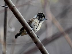 Ochraceous Piculet, Picumnus limae