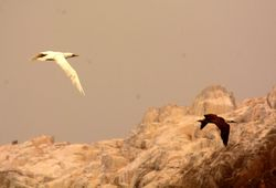 white Peruvian Booby with normal immature bird